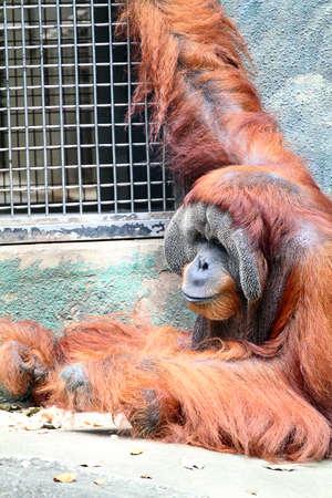 anthropomorphism: Stock image of a orangutan