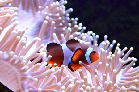 clown fish: Clown fish or anemone fish