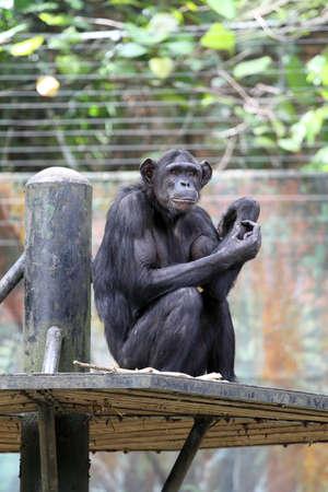 bonobo: Stock image of chimpanzee