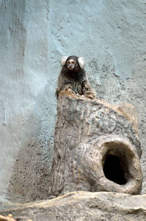 primacy: Marmoset is the smallest monkey found in the Amazon Stock Photo