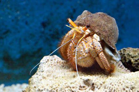 hermit: Hermit crab (Dardanus Calidus)