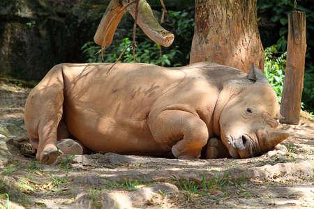 poaching: Rhino  rhinoceros Stock Photo