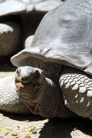stock image: Stock image of Giant Tortoise Stock Photo