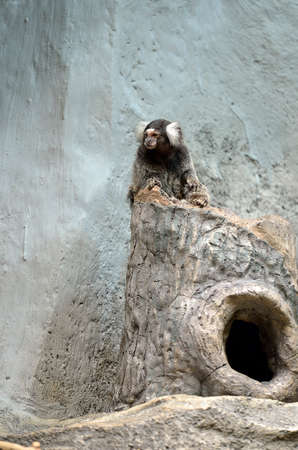 marmoset: Marmoset is the smallest monkey found in the Amazon Editorial