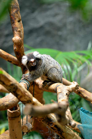dwarfish: Marmoset is the smallest monkey found in the Amazon Stock Photo