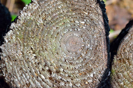 cut off: Old log cut off texture close-up