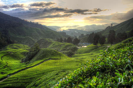 tea estates: Tea plantation at the Cameron Highland, Malaysia Stock Photo
