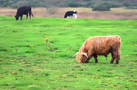 angus: Scotland Angus Bulls and Cows