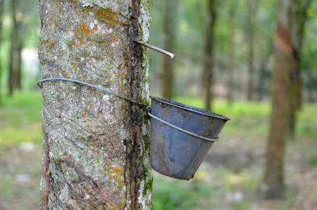 stock image: Stock image of rubber tree