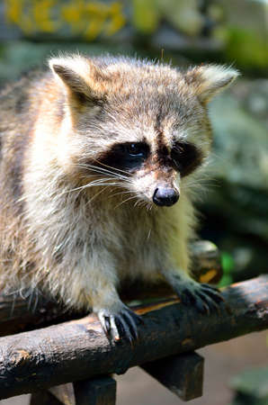 racoon: Stock image of a Racoon (Procyon Iotor) Stock Photo