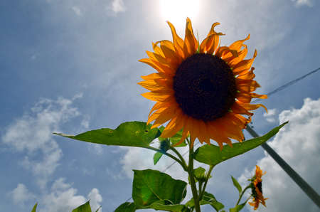 stock image: Stock image of Sunflower Stock Photo