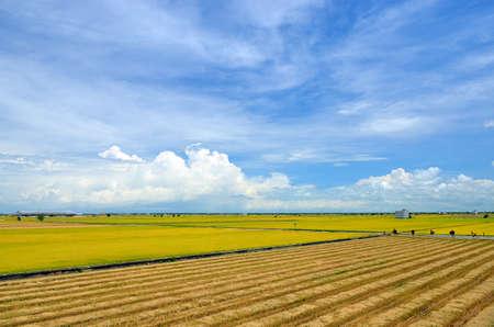 rice crop: The Asian rice crop at Sekinchan, Malaysia