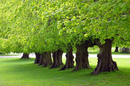 Beautiful tree lined avenue at Lyme Park, Disley, Stockport, UK