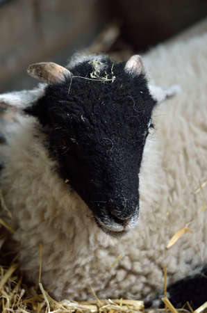 ovine: Stock image of Sheep in a yard
