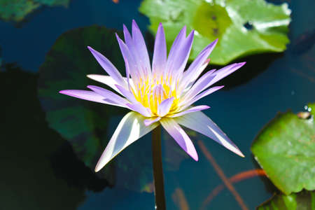blackwater: black-water pond with purple lotus which is blooming