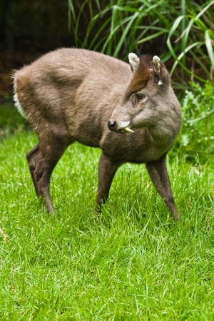 retiring: The small tufted Deer lives retiring in the woods of Birma and China