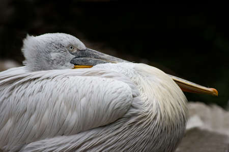 Pelican resting with its beak on its belly Stock Photo - 3889767