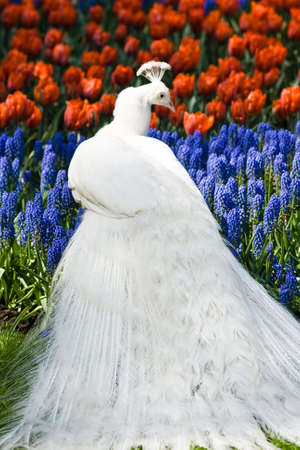 White peacock in spring with red and blue flowers