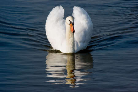 White swan with reflection in the water on a beautiful morning photo