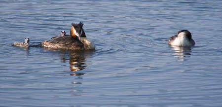 Great Crested Grebe family with two fluffy, striped young grebe Stock Photo - 3912632