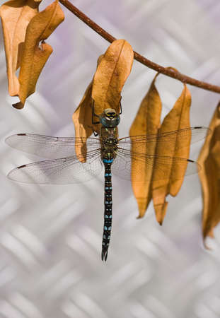 The Migrant Hawker is one of the smaller species of hawker dragonflies photo