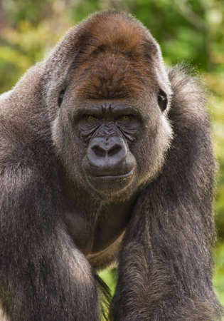 biggest: Big silverback gorilla staring and looking angry