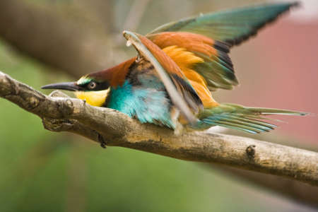 south african birds: Bee-eater europeo pronto per decollare