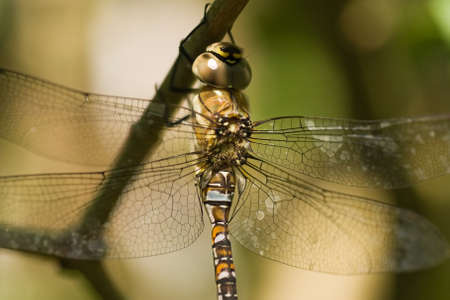 migrant: Migrant Hawker on a branch in the shadow