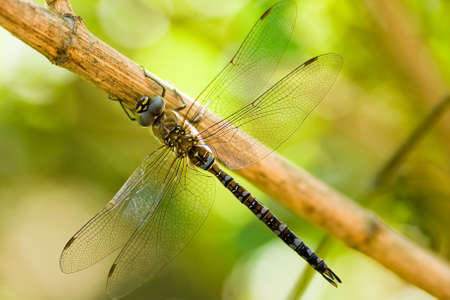 Migrant Hawker is resting on a branch Stock Photo