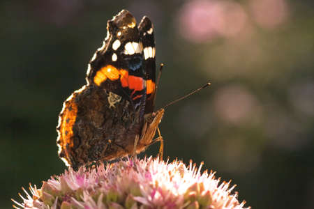 admiral: The Red Admiral or Vanessa atalanta in the early sunshine