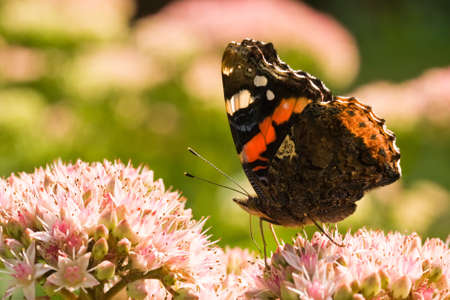 admiral: The Red Admiral is visiting Sedum Matrona