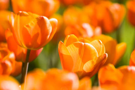 A field of sunny, orange tulips in spring
