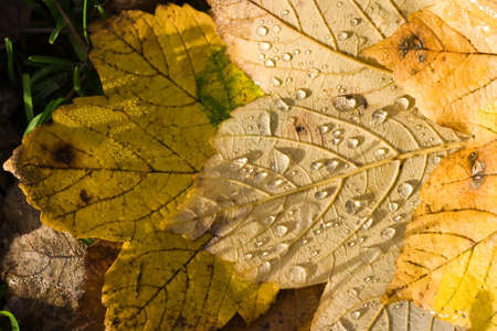 Yellow fallen leaves with drops of water in the sun on the ground Stock Photo - 3994568