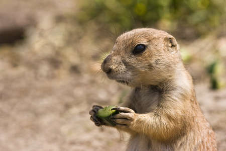 Young little prairiedog standing in the sun and eating photo