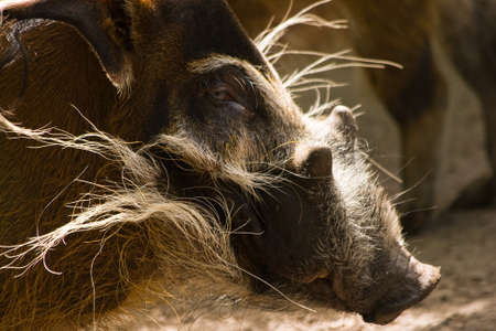 Red River Hog boar in the sun and looking photo