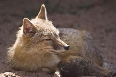 meadowland: Female swift fox resting in the sunshine Stock Photo