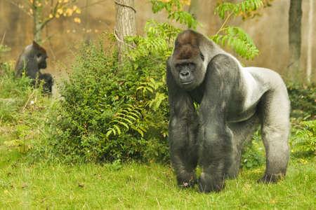 Leader Silverback gorilla kijken zijn grondgebied Stockfoto