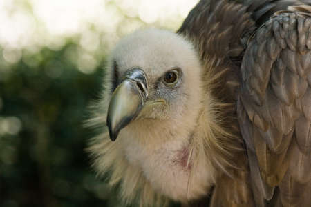 captured: Griffon Vulture resting in the shadow and watching Stock Photo
