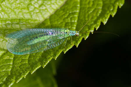 Lacewings sitting on green leaf in the sun Stock Photo - 4025049