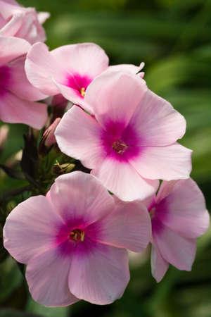 Rosa Blüten von Phlox blühen in der summersun Standard-Bild - 4025050