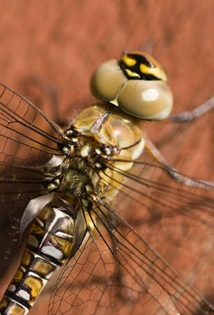 macro view on the eyes of a Migrant Hawker photo