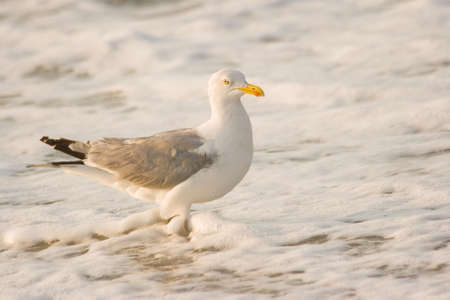 Herring-gull at the beach standing in foam from breakers Stock Photo - 4055665