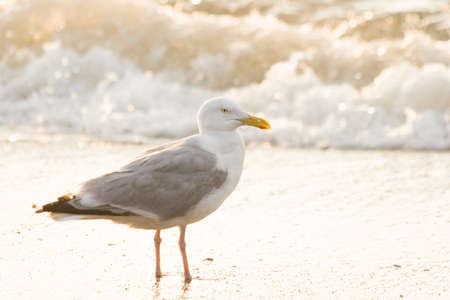 Herring-gull and breakers at the beach in evening light Stock Photo - 4055654
