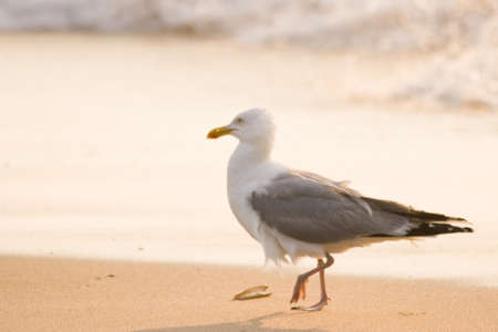 Herring-gull walking along the beach in evening light Stock Photo - 4055658