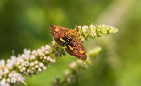 mot: Very little butterfly Minth mot on apple minth looking backward
