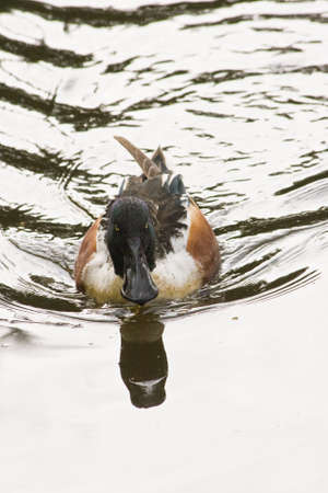 northern shoveler duck: Northern shoveler male swimming in silver water