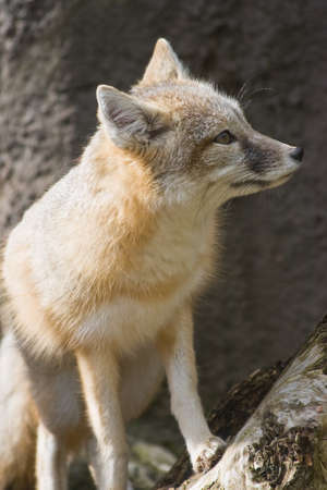 meadowland: Swift fox sitting in the sun and looking  Stock Photo