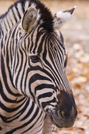 Portret van Zebra met zijn karakteristieke witte en zwarte strepen
