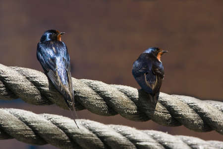 Two Barn swallows sitting on ropes in the sun Stock fotó