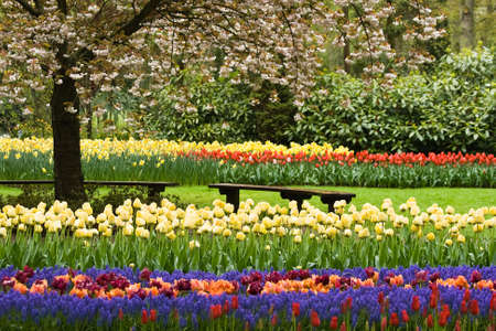 Park in spring with blooming tree, tulips and benches Stock Photo